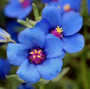 blueflower3
