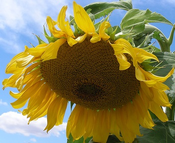 BowingSunflower