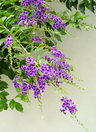 purple-flowers-1474422