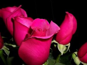 rose-1385723