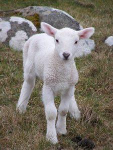 lamb-1396615